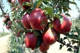 Elma üretim ve yenileme